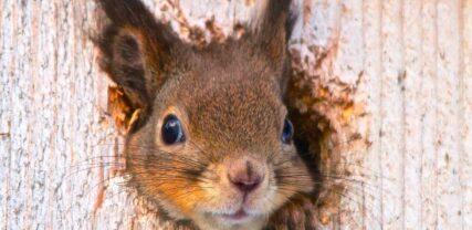 Squirrel looking out from a birdsnest. Copyright Jonna Øsbye
