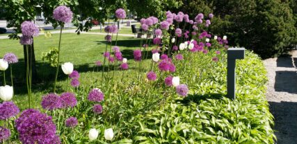 Violetteja jättilaukkoja ja valkoisia tulppaaneja kaupungintalon puistossa.