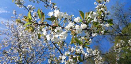 Pilvikirsikka kukkii valkoisin kukin.